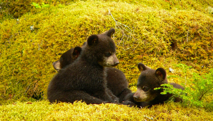 Black Bear Cubs in the Smokies