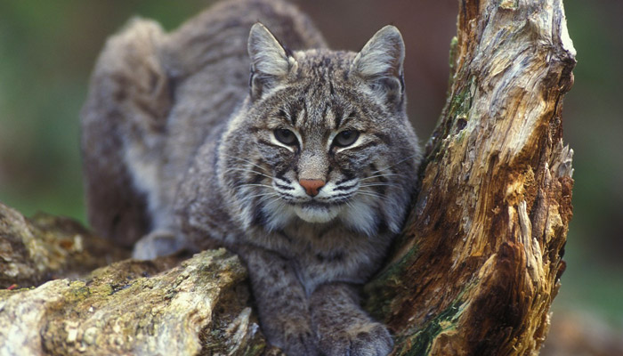 Wild Bobcats in the Smokies