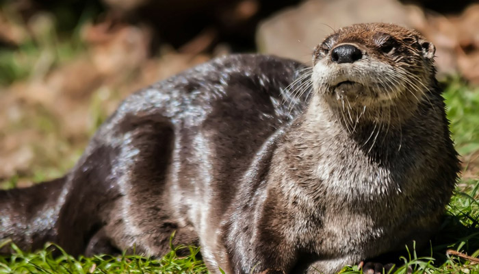 River Otters Reintroduced to the Smoky Mountains