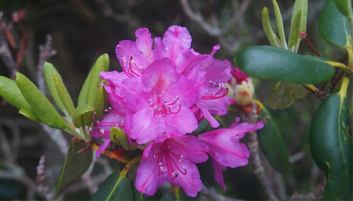 Late Spring Rhododendron Bloom