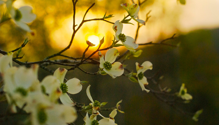 Dogwood Tree in Sunset