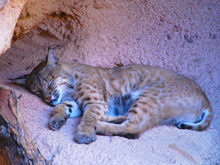 New Bobcats at Ober Gatlinburg