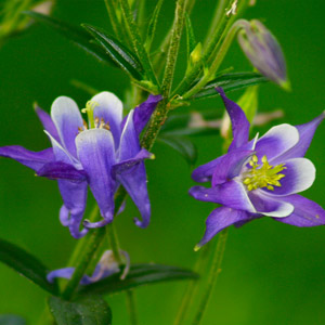 Columbine Wildflowers