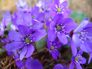 Hepatica in the National Park