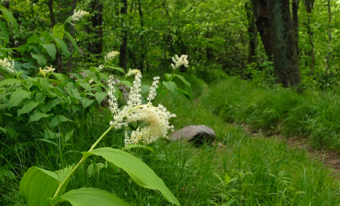Smoky Mountain Wildflowers on Hiking Trails